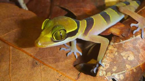A banded gecko charms with its striking colours and patterns.