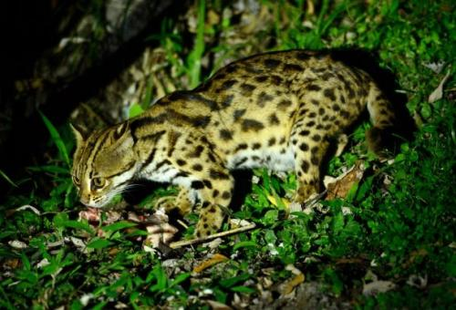 Leopard cat (Prionailurus bengalensis)The leopard cat is one of the most successful hunters of the Malaysian rainforest! It is just a little bigger than a domestic cat and weighs between 3 and 7 kilos. Admired for their striking markings and fur, these small cats are efficient at catching their favourite prey of rodents, lizards, and birds both on land and in the trees. In fact, unlike most cats, leopard cats are also good swimmers and have slightly webbed paws to assist them in the water!