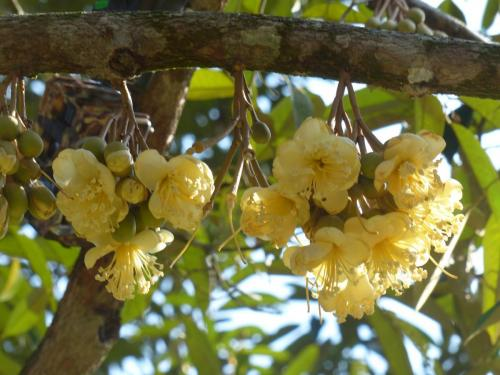 Durian flowers.