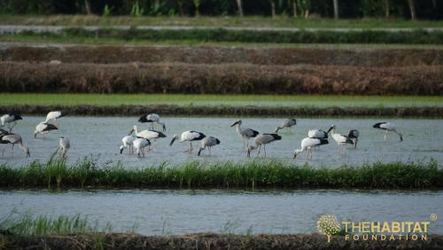 Asian openbill storks (Anastomus oscitans)