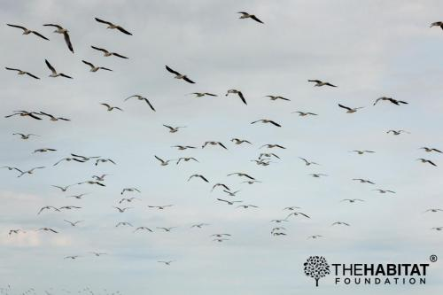 Flocks of migratory birds.