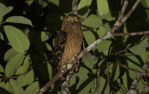 Buffy fishing owl (Ketupa ketupu)With its distinctive yellow eyes and its alarmed expression, this owl is probably the biggest you will see on Penang Island. It is mainly seen near beaches, rivers and mangroves. Buffy fish owls mainly feed on fish, crabs and reptiles but they also prey on rats, large insects and bats.
