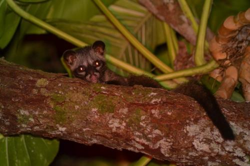 Common palm civet (Paradoxurus hermaphroditus)While you are sleeping, the common palm civet is probably one of our most common nighttime visitors to your gardens! Sometimes you may hear them running on your rooftop or playing chasing games in your ceiling. Civets have been able to adapt to living in agricultural areas and in housing estates. You can tell a common palm civet by the three lines along the length of its body. They feed on wild fruit, the sap of flowers, lizards, snakes, frogs, eggs, and insects.