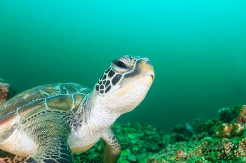 Green turtles nest all year round at Penang National Park