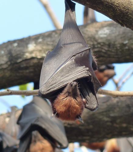 Fruitbats slumber under the morning sun. Once widespread, fruitbats in Malaysia (Pteropus hypomelanus and Pteropus vampyrus), fruitbat populations have declined steadily in recent years.