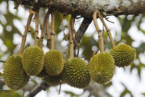 There is clearly a close link between the survival of fruitbats and the sustainability of durian production.
