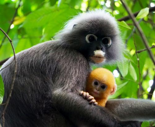 Dusky leaf monkey mother and young