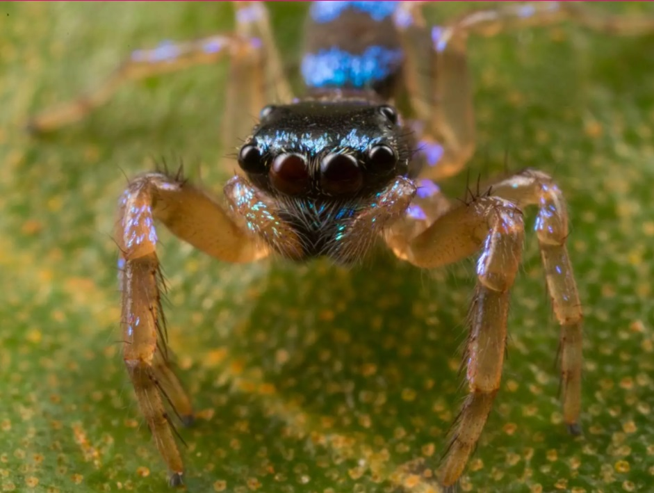 Jumping spider (Photo credit: PhilTorres)